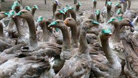 Landbouwbedrijf voor het fokken van binnenlandse ganzen stock videobeelden