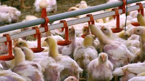 Landbouwbedrijf voor het fokkenkippen stock footage