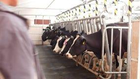 Landbouwbedrijf voor koeien, melkende melk, productie van melk op een landbouwbedrijf, koeien en melk, dier, kine stock videobeelden