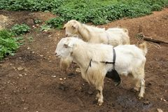 Landbouwbedrijfdier in Spanje Stock Afbeeldingen
