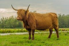 Landbouwbedrijfdieren - Hooglandvee Royalty-vrije Stock Afbeeldingen