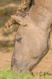 Landbouwbedrijfdieren - Konik-Paard Royalty-vrije Stock Foto