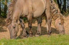 Landbouwbedrijfdieren - Konik-Paard Royalty-vrije Stock Foto's