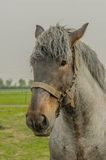 Landbouwbedrijfdieren - Nederlands Ontwerppaard Royalty-vrije Stock Fotografie
