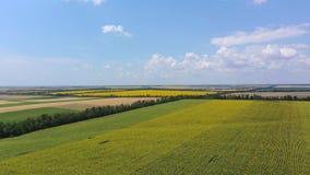 Landbouwbedrijfgebieden van zonnebloem en tarwe stock footage