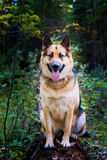 Landbouwbedrijfhond royalty-vrije stock foto's