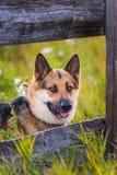 Landbouwbedrijfhond stock fotografie