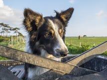 Landbouwbedrijfhond op vierlingfiets Stock Foto