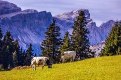 Landbouwbedrijfkoeien die op een heuvel weiden Stock Afbeeldingen