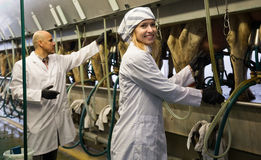Landbouwbedrijfpersoneel die met melkende machines in koeienschuur werken royalty-vrije stock afbeeldingen