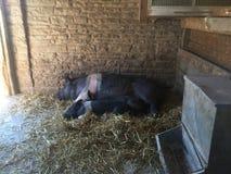 Landbouwbedrijfvarkens het slapen Stock Foto