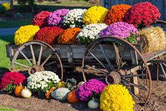 Landbouwbedrijfwagen en Kleurrijke Mums Stock Foto