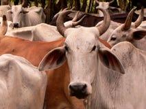 Landbouwbedrijven en koeien, Panama stock afbeeldingen