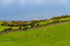 Landbouwbedrijven met koe in Burren-maniersleep met de baai van Galway stock afbeelding