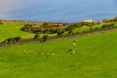 Landbouwbedrijven met koeien en paarden in Burren-maniersleep met de baai van Galway royalty-vrije stock foto