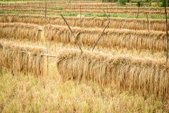 Landbouwdetailmening van padieveld tijdens oogst Stock Fotografie