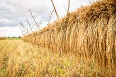 Landbouwdetailmening van padieveld tijdens oogst Stock Foto