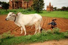 Landbouwer in Birma Stock Afbeeldingen