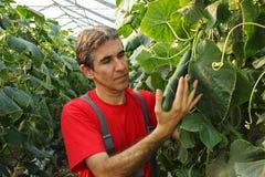 Landbouwer Checking Cucumbers in Commerciële Grenhouse Royalty-vrije Stock Foto's