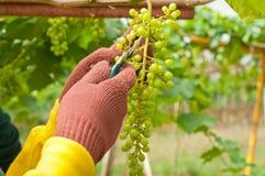 Landbouwer Cutting Grapes Royalty-vrije Stock Foto's