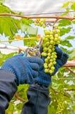 Landbouwer Cutting Grapes Stock Afbeeldingen