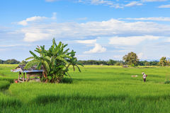 Landbouwer die aan padieveld werken Stock Fotografie