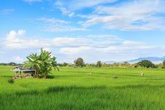Landbouwer die aan padieveld werken Royalty-vrije Stock Foto's
