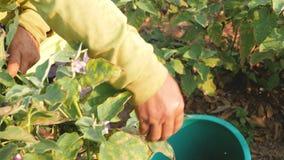 Landbouwer die aubergines in het landbouwbedrijf verzamelen stock footage