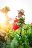 Landbouwer die de kwaliteit van de suikerbieten controleren Royalty-vrije Stock Afbeelding
