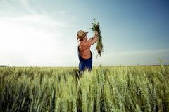 Landbouwer die de kwaliteit van tarwe met vergrootglas controleren royalty-vrije stock afbeelding