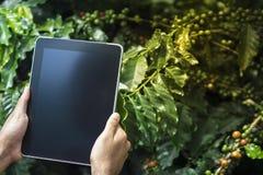 Landbouwer die digitale tabletcomputer in de gecultiveerde aanplanting van het koffiegebied met behulp van stock foto