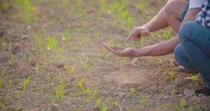Landbouwer die droge grond onderzoeken stock videobeelden