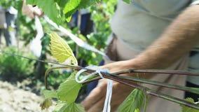 Landbouwer die druiven controleren stock footage