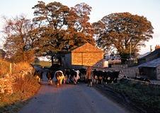 Landbouwer die een kudde van koeien lopen, Wensleydale stock foto's