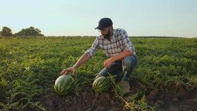 Landbouwer die een watermeloen meten stock video