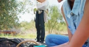 Landbouwer die geoogste olijven in rieten mand 4k zetten stock video