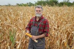 Landbouwer die graangewas op gebied onderzoeken stock fotografie