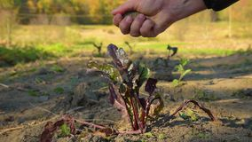 Landbouwer die grond onderzoeken stock footage
