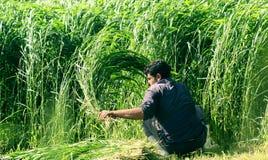 Landbouwer die het gewas in Egypte oogsten stock afbeeldingen