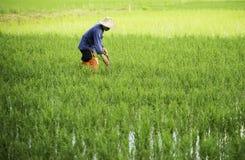 Landbouwer die in het padieveld werken stock afbeelding
