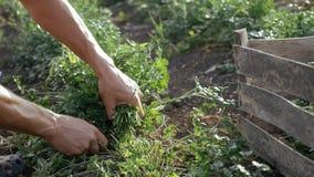 Landbouwer die in hoed verse peterselie oogsten door mes op het gebied van organisch ecolandbouwbedrijf Stock Afbeeldingen