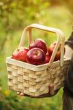 Landbouwer die houten mand met verse rode autum van de appelenoogst houden royalty-vrije stock fotografie