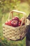 Landbouwer die houten mand met verse rode autum van de appelenoogst houden stock foto's