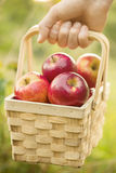 Landbouwer die houten mand met verse rode autum van de appelenoogst houden royalty-vrije stock afbeeldingen