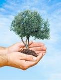 Landbouwer die olijfboom voorstelt Stock Foto