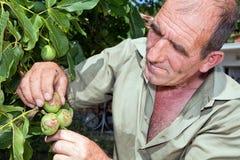 Landbouwer die oogst controleert royalty-vrije stock afbeelding