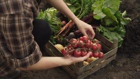 Landbouwer die oogst van tomaten in een houten doos op ecolandbouwbedrijf vouwen in zonsonderganglicht stock videobeelden