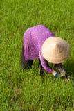 Landbouwer die op een padiegebied werkt Stock Afbeeldingen