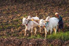 Landbouwer die op het gebied met waterbuffel werken Stock Fotografie