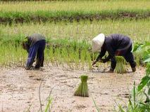 Landbouwer die openluchtrijst planten stock afbeeldingen